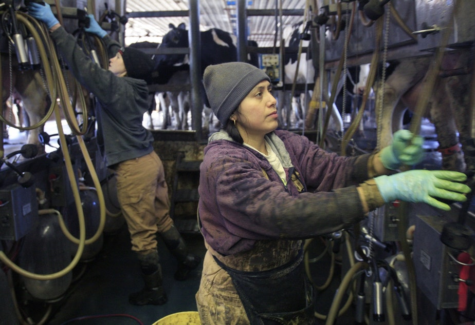 Immigrant farm worker Defelia Hernandez works in the milking parlor at Gervais Family Farm in Bakersfield, Vt., Tuesday, March 9, 2010. The farm was among five dairy farm operations targeted in a federal crackdown on undocumented foreign farm workers where Clement Gervais says he believed two of his workers cited as unemployable had proper documentation.