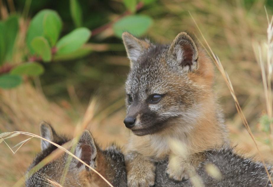 caption: Two juvenile island foxes on Santa Cruz island