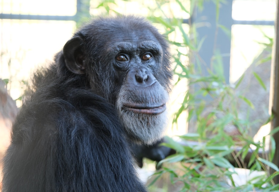 caption: Gordo is one of six chimps that arrived at the sanctuary in late June.