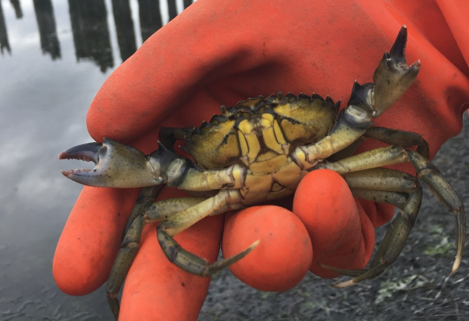 caption: A small male European green crab captured in the Lummi sea pond in September 2020