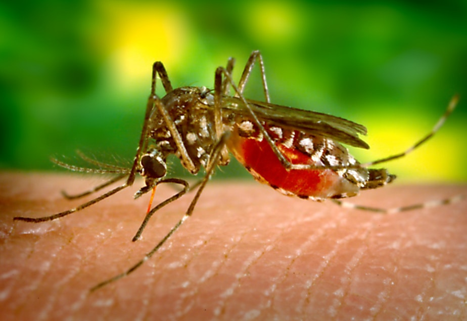 caption: A female <em>Aedes aegypti</em> mosquito feeds on human skin.