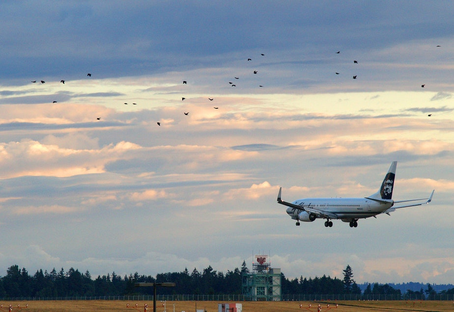 caption: An Alaska Air 737 arrives at SeaTac as a flock of birds crosses.