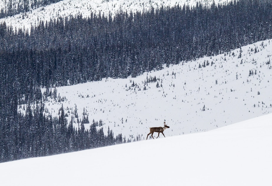 caption: A lone mountain caribou walking through the snow in the mountains of British Columbia.