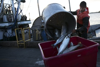 Nathan Cultee dumps 16 farm-raised Atlantic salmon into a container on Tuesday, August 22, 2017, at Home Port Seafood in Bellingham.