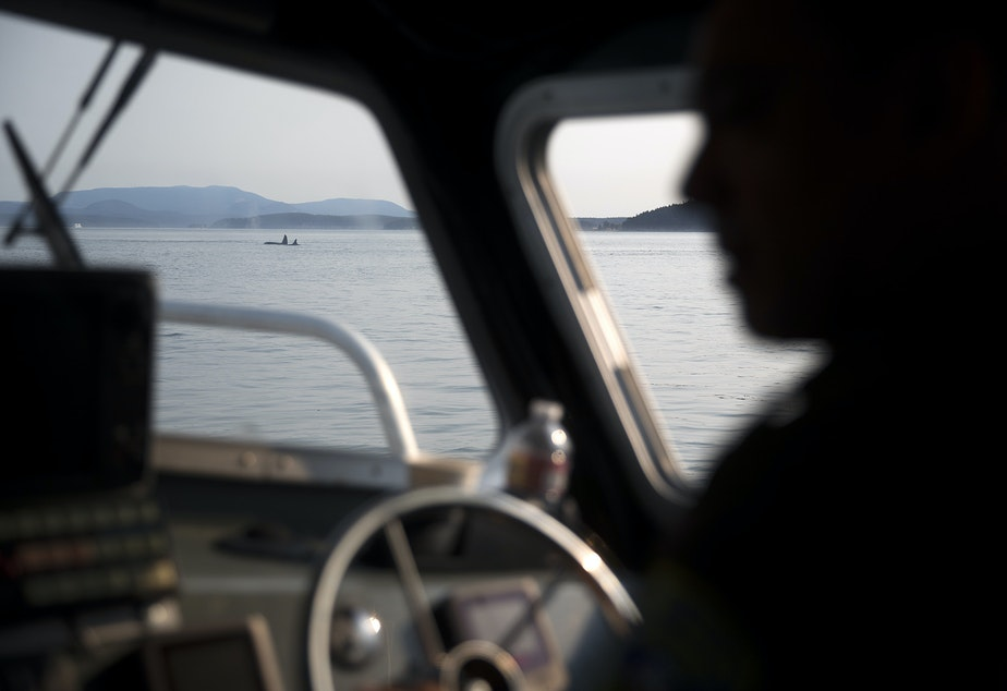 Lummi Nation national resources officer Aaron Hillaire operates the Lummi police boat while looking for J-50, as a group of transient whales are shown in the distance, on Friday, August 10, 2018. (Image taken under the authority of NMFS MMPA/ESA Permit No. 18786-03)