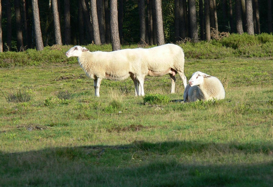 caption: One sheep with six legs, or two sheep with eight legs? What about the poor sheep laying on the grass?
