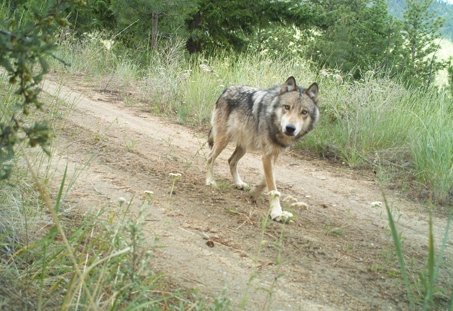 caption: A gray wolf trots along a road in Washington state.