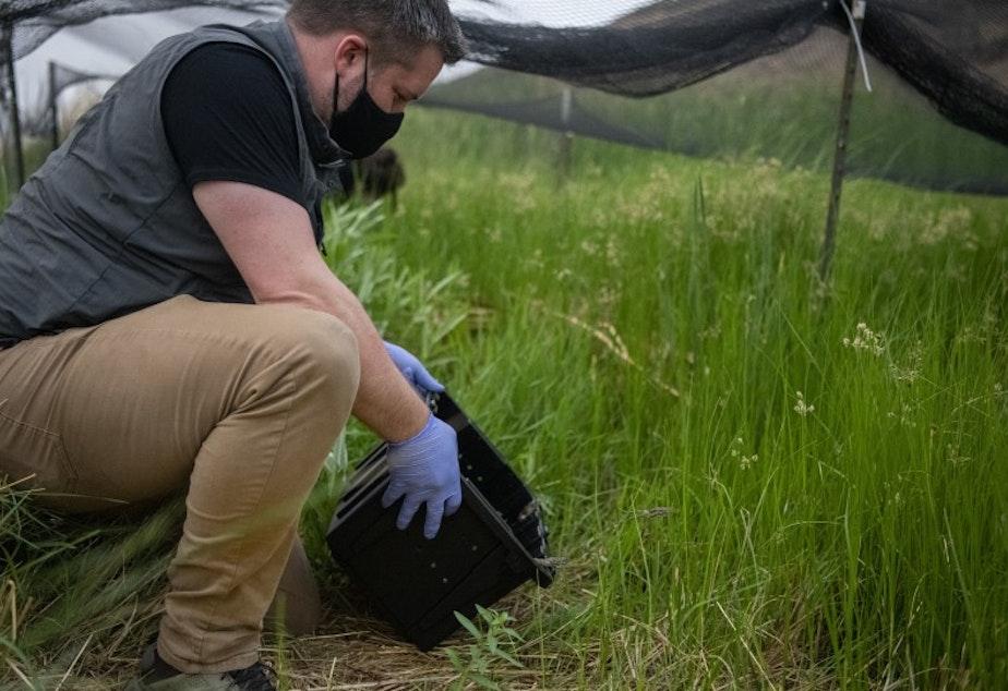 caption: Northwest Trek Curator Marc Heinzman releases the norther leopard frogs into a temporary net pen.