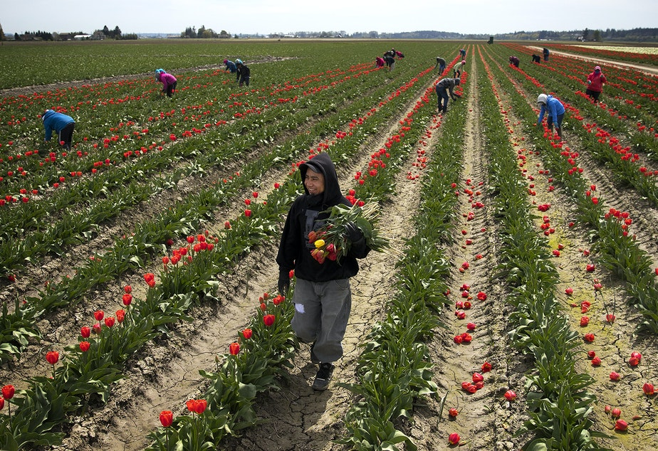 caption: Farmworker Carlos Vega carries an armful of tulips as the flowers are topped, on Tuesday, April 24, 2018, at one of RoozenGaarde's fields, near Mount Vernon. The tulips are topped in order to conserve the remaining energy for the bulbs.