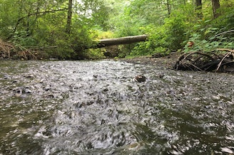 Most coho salmon returning to Miller Creek in Normandy Park, Washington, die before they can spawn.