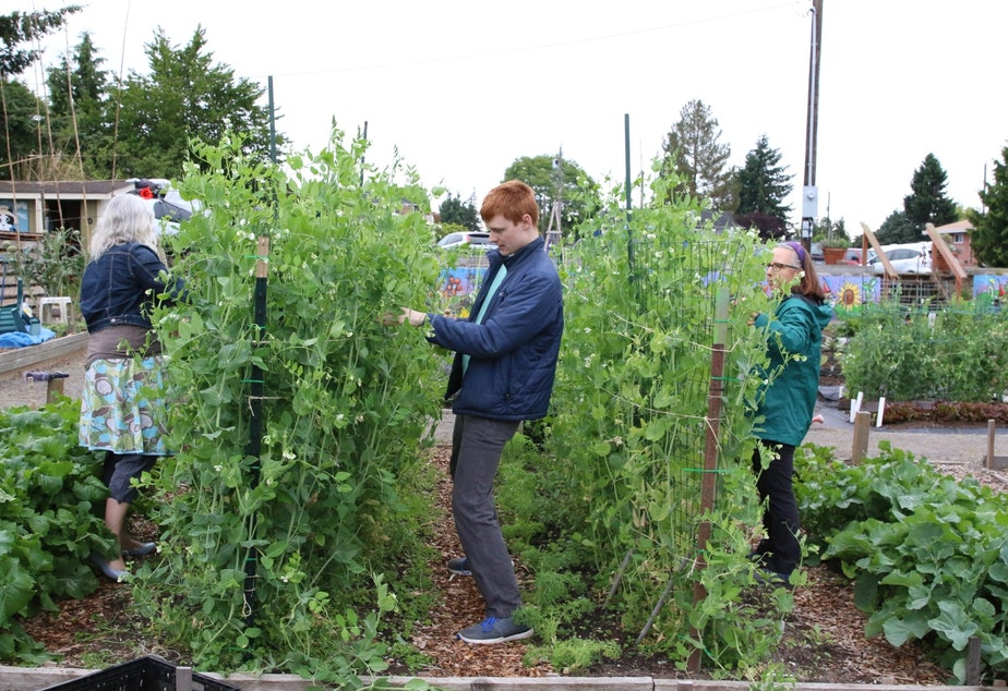 caption: Gardeners pick peas for the food bank at the Ballard P-Patch community garden.
