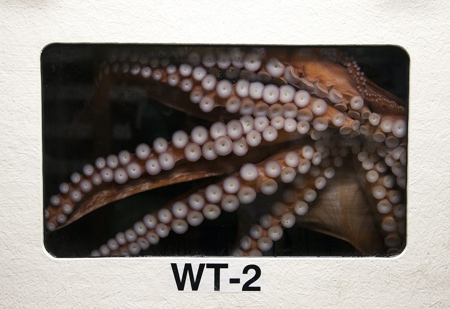 Bailey the Giant Pacific Octopus is in a holding tank at the Seattle Aquarium on Thursday, June 13, 2019.