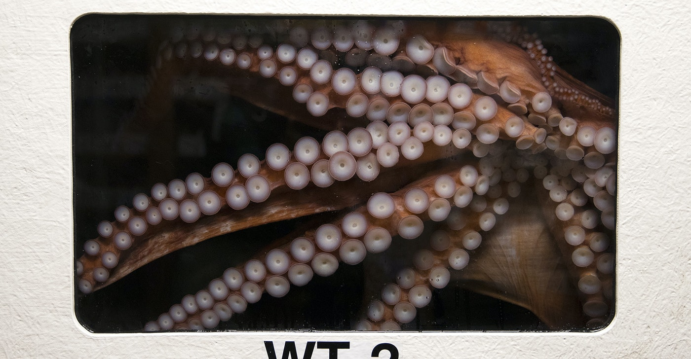 caption: Bailey the Giant Pacific Octopus is in a holding tank at the Seattle Aquarium on Thursday, June 13, 2019.