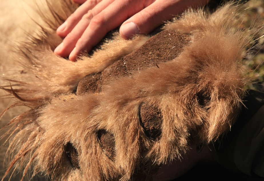 caption: Chris Morgan's hand on the paw of a bear he was helping to process during research on this species near Churchill, Canada.
