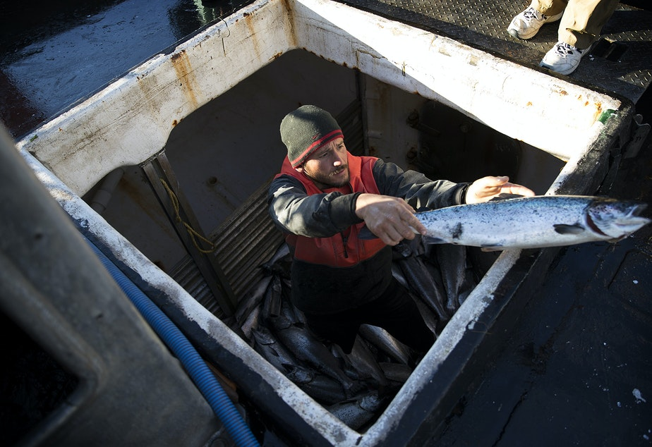 caption: Aboard fishing vessel Marathon, Nathan Cultee tosses one of 16 farm-raised Atlantic salmon caught after a day of fishing on Tuesday, August 22, 2017, at Home Port Seafoods in Bellingham.