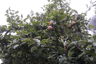 Each year City Fruit picks tens of thousands of fruit from private properties and public orchards like this one in Seattle's Wallingford neighborhood.