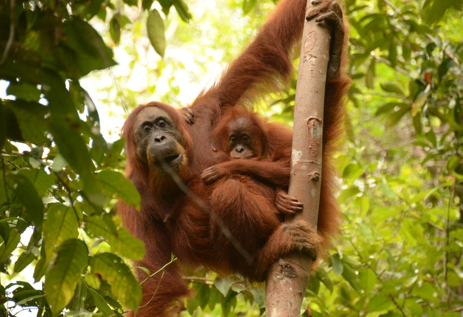 caption: Orangutans spend the first 16 years of their lives learning from their mothers.