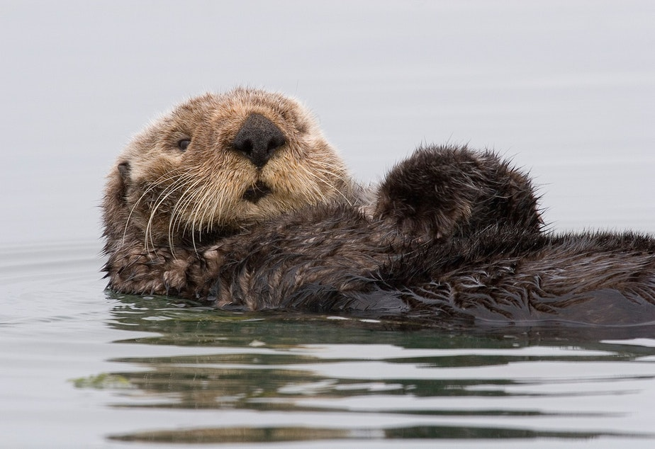 caption: A sea otter preens itself in Morro Bay, California. Sea otters have not naturally repopulated to the Oregon Coast from California or Washington, so a reintroduction effort is now being studied.