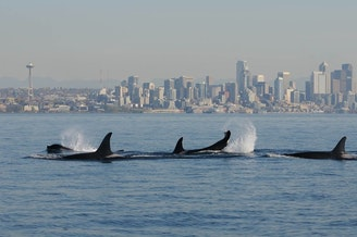 An orca pod travels past the Seattle skyline. A new study shows that pods are most likely led by older females.