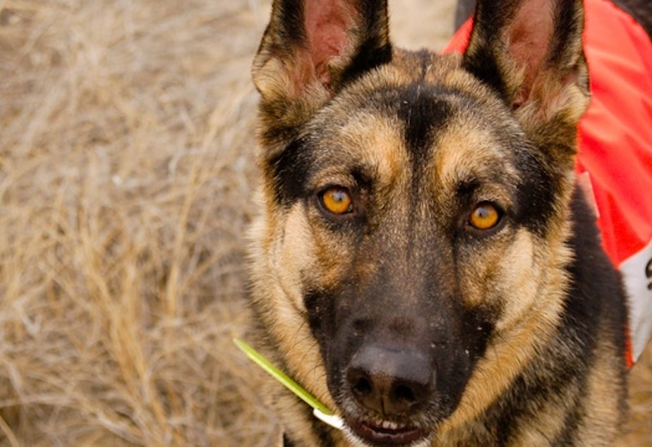 Kia is a 2-year-old German shepherd who is training to be a search and rescue dog with the Yakima County K-9 team. The team is made up of volunteers who search for missing hikers, hunters, children, and senior citizens.