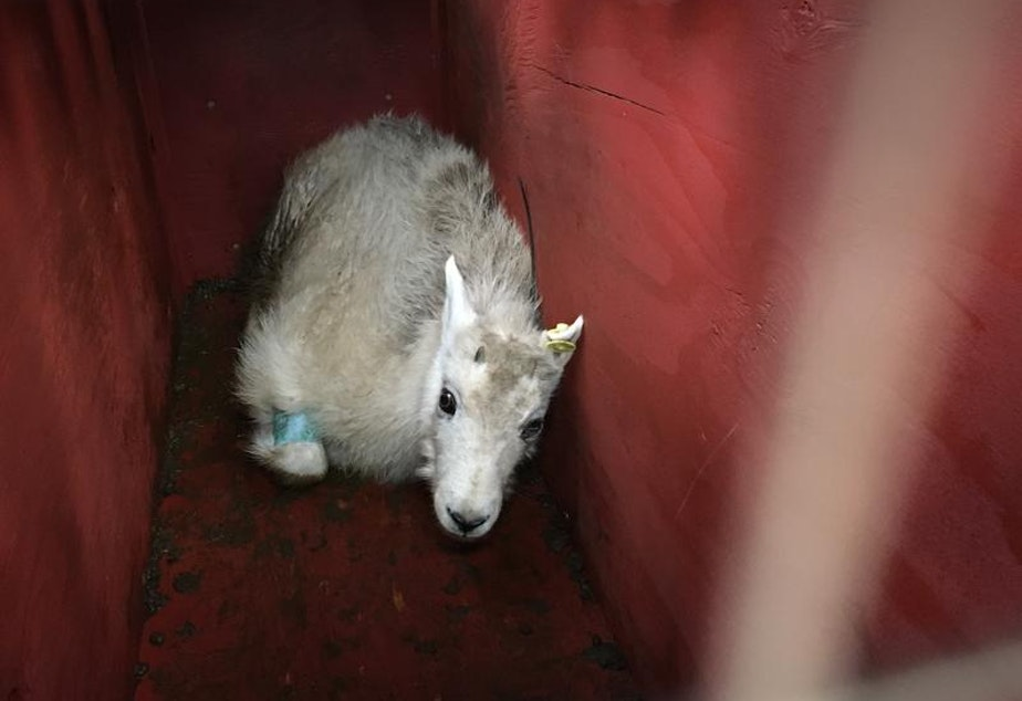caption: A young male mountain goat from Olympic National Park resting in its crate shortly before release during a relocation operation in 2018.