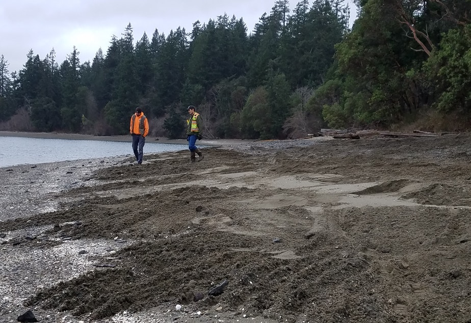 caption: Washington Department of Fish and Wildlife staff walk a newly exposed McNeil Island beach on Tuesday.