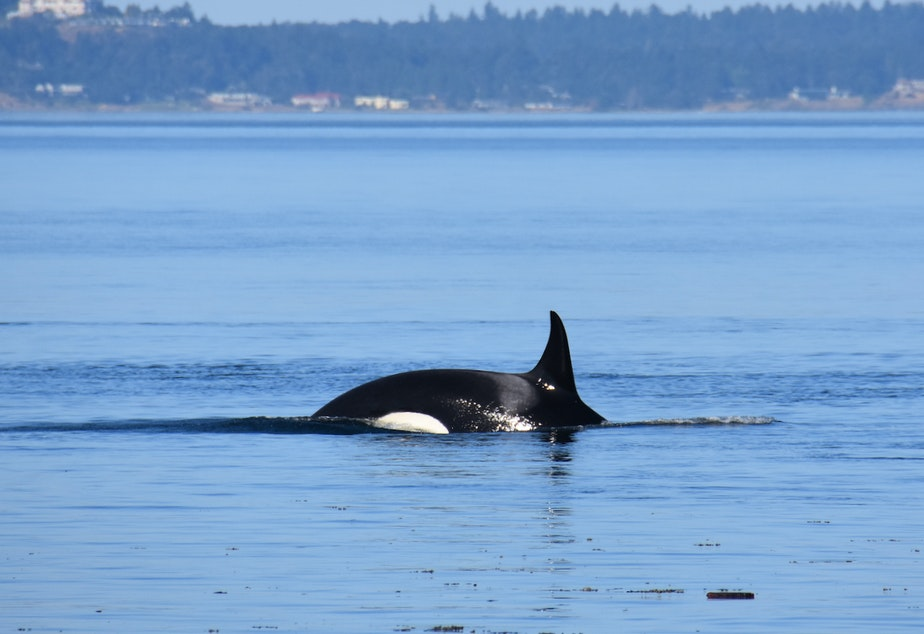 caption: Endangered orca J36 in Haro Strait in July 2018, one of three endangered orcas identified as pregnant in Sept. 2021.