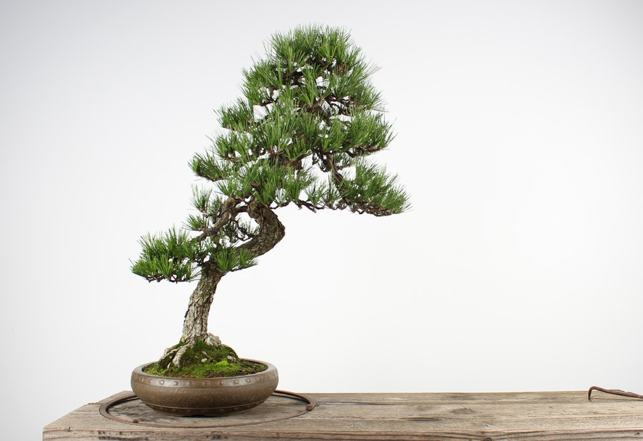 Kuow Priceless Bonsai Trees Stolen From Museum In Washington State