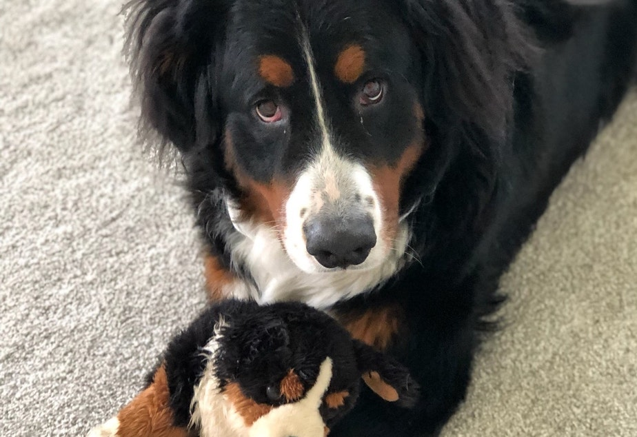 caption: Ranger, a three-year-old Bernese mountain dog, came close to death recently after suffering from Gastric Dilatation Volvulus, also known as a twisted stomach. His family struggled to find an emergency clinic that could take him on a Sunday night. Access to veterinary care, including emergency services, has become more difficult during the COVID-19 pandemic.