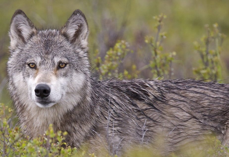 A grey wolf sits in a field.