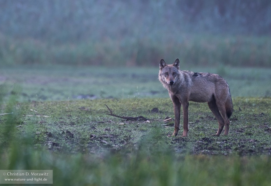 caption: Wolf in the morning dawn