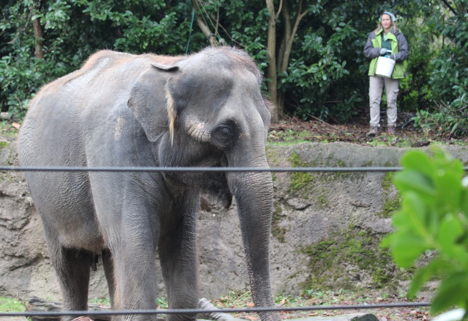 caption: Chai, the Woodland Park Zoo's 35 year-old Asian elephant, browses for treats thrown by her keeper in the zoo's elephant enclosure. The zoo is looking for a new home for Chai and other remaining elephant, Bamboo.
