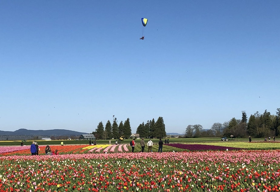 caption: A motorized paraglider flies over TulipTown
