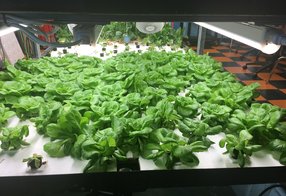 caption: These greens are among the hydroponic crops grown by students at Brownsville Collaborative Middle School, in Brooklyn, N.Y. In June, the students started to sell discounted boxes of the fresh produce to community members.