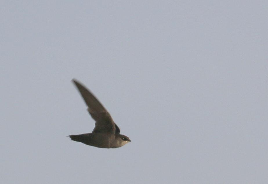 caption: A Vaux's swift in flight.