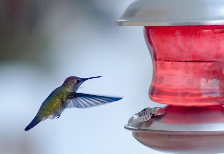 caption: Ben Henwood took this photo of a hummingbird at a feeder in Ravenna during the cold snap this week. He posted this photo to Ravenna NextDoor.