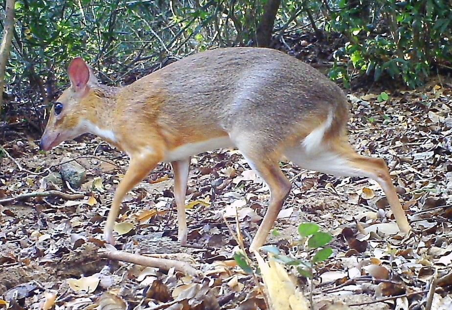 caption: Nearly 30 years after its last documented sighting, a silver-backed chevrotain was spotted by a camera set up in the forest of southern Vietnam.